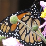 Monarch: Ventral View