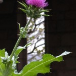 Milk thistle (<i>Silybum marianum</i>)