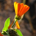 Calendula in Winter