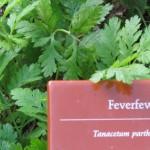 Tanacetum parthenium with label