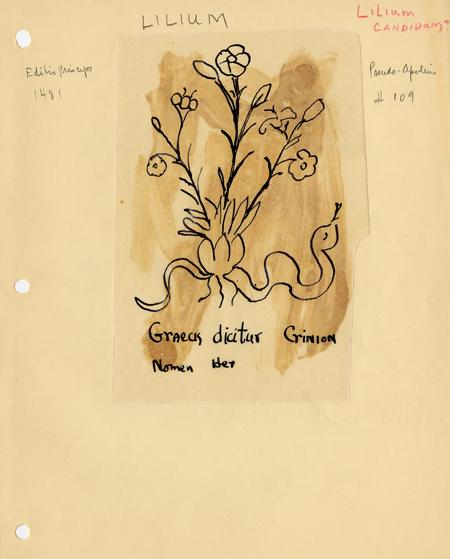 Tracing Lilium