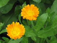calendula-officinalis-open_200