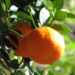 Citrus aurantium myrtifolia detail thumbnail