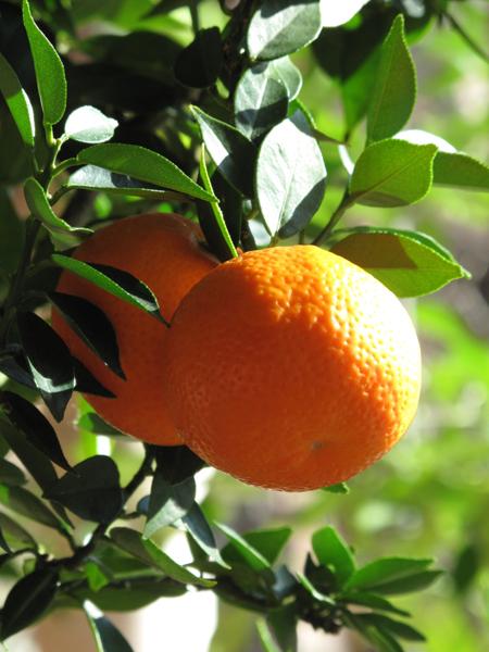 Citrus aurantium var. myrtifolia (detail)