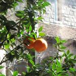 Citrus aurantium myrtifolia thumbnail