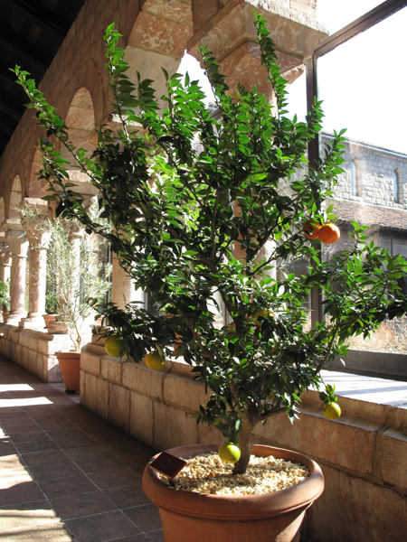 Citrus aurantium myrtifolia