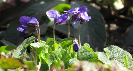 Sweet Violet under Quince