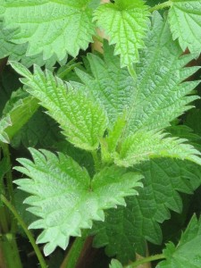 Nettles' Stinging Hairs