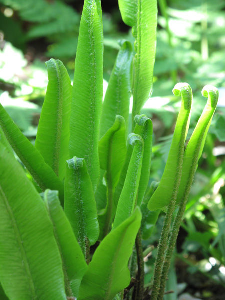 Asplenium Scolopendrium The Medieval Garden Enclosed The