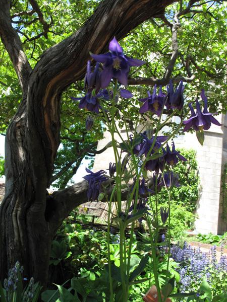 Columbine Flowering under Quince