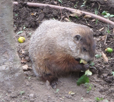Woodchuck Enjoying Apple