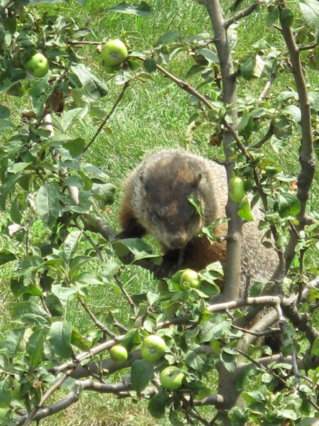 Woodchuck in Apple Tree