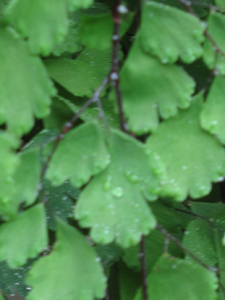 maidenhair fern detail
