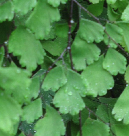 Maidenhair fern (detail)