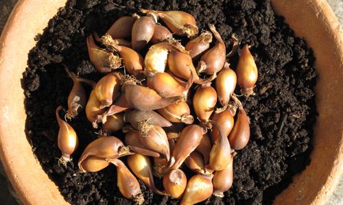 Tulipa biflora bulbs