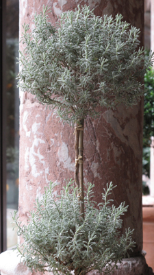 Dwarf Santolina Topiary