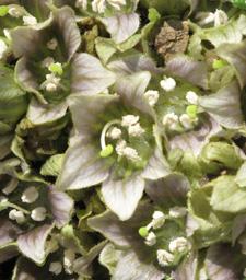 mandrake-flowers_detail_225
