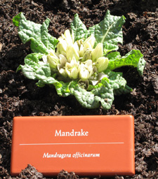 mandrake_in_bloom_detail_225