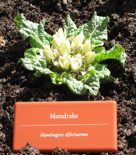 Mandrake blooming in Bonnefont garden