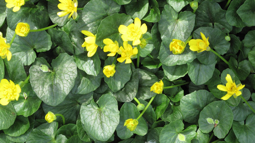 Colony of Lesser Celandine