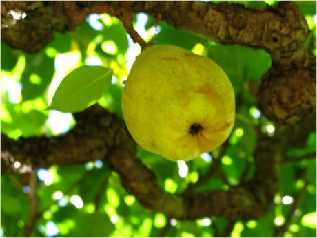 Espalliered Pear Fruit