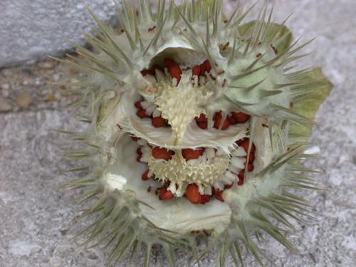<em>D. metel</em> Seed Capsules