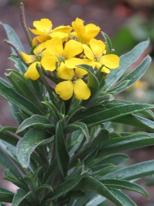Wallflower (Erysimum cheiri)