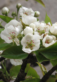 Pear blossom (detail)