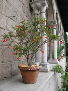 Dwarf Pomegranate Tree