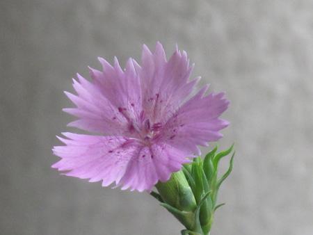 Dianthus seguieri