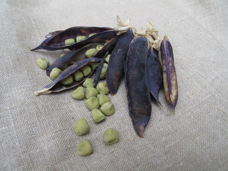 Blue Pod Capucijner Seeds