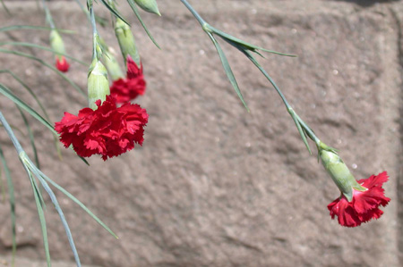 Dianthus caryophylllus In Bloom