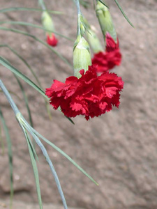dianthus-caryophylllus-in-bloom_detail