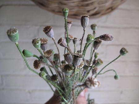 Papaver rhoeas Seedheads